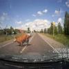 Российский водитель сбивает корову, которая убегала от быка